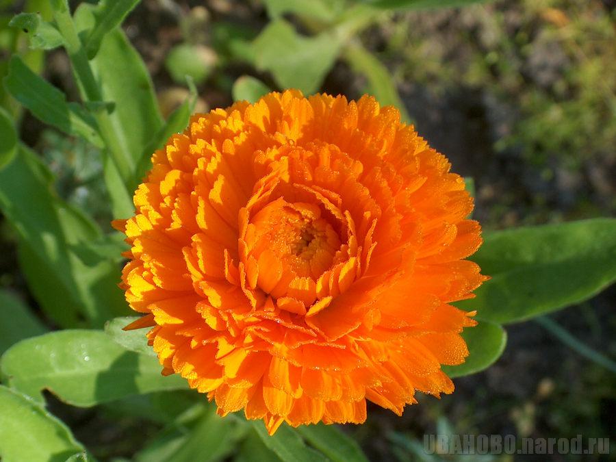 Календула — свойства и лечебное применение