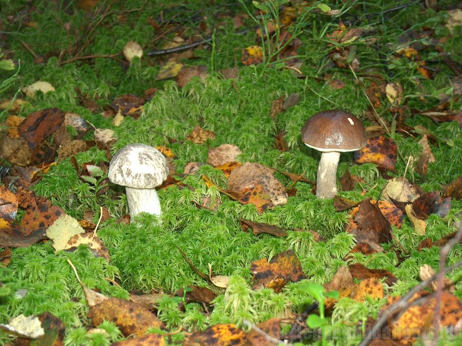 грибы подпесочники фото